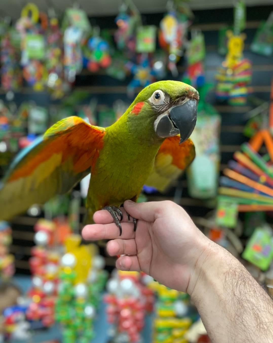 Red-fronted macaw