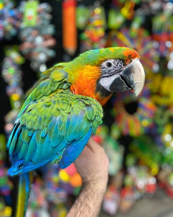 Ruby Gold Macaw